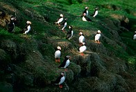 Atlantic Puffins (Fratercula arctica) on nests, Mykineshólmur, Faroe Islands, Denmark