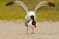 Laughning Gull (Larus atricilla).