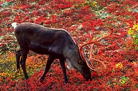 A Barren Ground Caribou with bloody antlers standing on the Autumn Tundra in Denali National Park, Alaska.