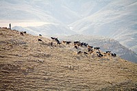 Bedouin herding goats on a mountain ridge