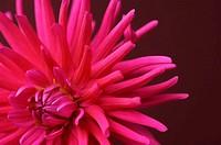 Pink dahlia, close-up