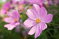 Cosmos plant in bloom (focus on blossom in foreground)