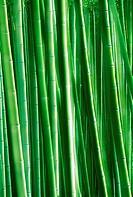 Bamboo forests at Arashiyama Park in Kyoto Japan
