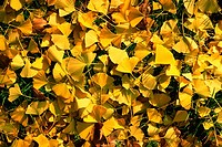 Yellow Ginko leaves used to make Ginko Biloba herbal extract.
