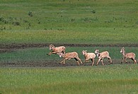 Group of young bighorn sheep (Ovis canadensis) play in a montaine meadow, Rocky Mtn Nat´l Park, CO