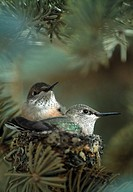Pair of broad-tailed hummingbird chicks (Selasphorus platycercus) in nest, Estes Park, CO