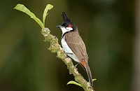 Red Whiskered Bulbul, Hawaii