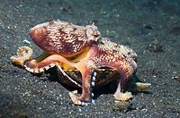 Veined octopus (Octopus marginatus).  This octopus can bury in sand or mud but frequently hides in large shells or pieces of discarded coconut shells....