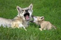 Wolf (Canis lupus), captive, cub. Germany