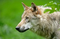 Wolf (Canis lupus), cub. Germany
