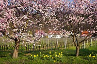 Amond tree blooming. Rhineland Palatinate, Gimmeldingen, Germany, April 2006
