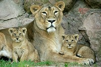 Panthera leo persica, Asiatic Lion, Cubs with mother.