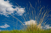 Ornamental grass plant against summer sky