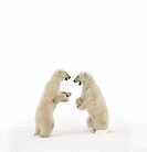 Two young poalr bears standing face to face in the snow.  Picture taken in The Cape, Churchill, Manitoba, Canada.