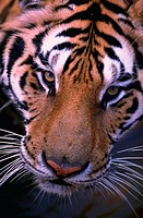 Close-up of a tiger's face. Panthera Tigris.
