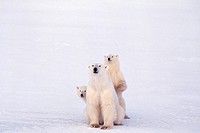 Three polar bears playing together in the snow.