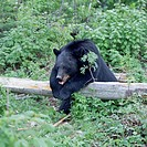A very tired looking Black Bear rests across a fallen tree in a forest.
