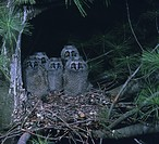 Five fuzzy baby Long-eared Owls huddle together in their nest.