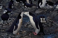A pair of chinstrap penguins greeting each other at nest site in the company of several other penguins.