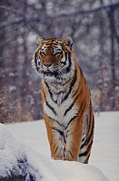 Siberian Tiger (Panthera tigris). Winter.