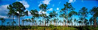 Panoramic view of trees in pine land and palmetto palm scrub in Everglades National Park, Florida.