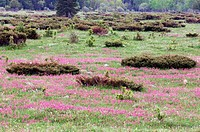 Upland alvar with flowering Prairie Smoke (Geum triflorum), Juniper and Oak trees in spring. Manitoulin Is., Ontario, Canada