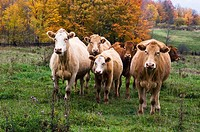 Cattle in pasture. Manitoulin Is., Ontario, Canada