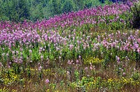 Fireweed colony. Coniston, Ontario, Canada