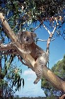 Koala bear in tree in Victoria, Australia