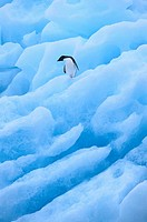 Adelie Penguin on Blue Ice