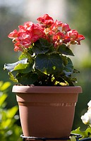 Begonia plant (thumbnail)