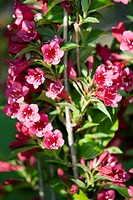 Azalea flowers