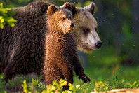 Brown Bear (Ursos arctos), female with cub standing on outlook,  pine forest, Carelia, Finland