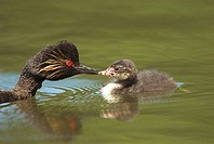 Black-necked Grebe (Podiceps nigricollis) adult bird feeding its chick