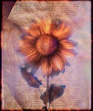 Sunflower and Text