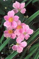 Forest edge, Japan anemones, anemone  japonica, detail, blooms, pink Tree of the year 2005 Nature, plants, flowers, tree, crowfoot plants, Japan anemo...