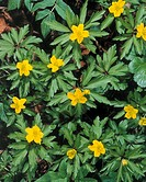 Yellow Windröschen, anemone,  ranunculoides, blooms, yellow Tree of the year 2005 Plants, flowers, crowfoot plants, Ranunculaceae, anemones, blooms, p...