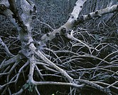 Tree in a Mangrove Swamp