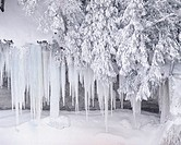 Icicles Hanging from Snowy Tree
