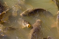 carps In Villandry pond, France