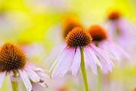 Echinacea purpurea