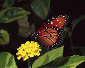 Queen Butterfly on Yellow Flowers