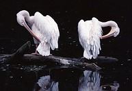 10175117, pelican, two, water birds, trunk, clean, reflection, birds
