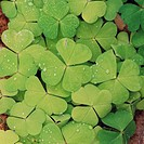 10623737, clover, sour clover, group, close up, dewdrops, clowerleaf