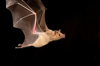 Lesser Long-nosed Bat (Leptonycteris curasoae)