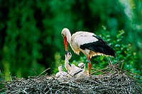 White stork regurgitating food to chicks in nest (Ciconia ciconia). Alsace - France
