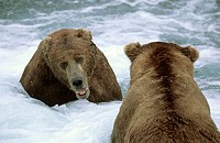 Two grizzli bears facing in threat display, Brooks river (Ursus arctos horribilis). Katmai National Park. Alaska, USA
