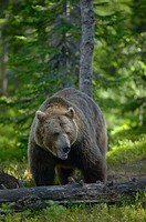 European Brown Bear (Ursus arctos)