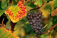 Pinot noir grapes, Champagne district, France