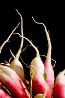 Radishes (Raphanus sativus L.)